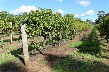 Vignoble en Australie