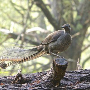 Lyrebird australien