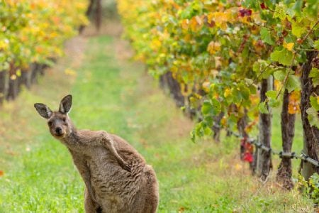 Vins et vignobles d'Australie