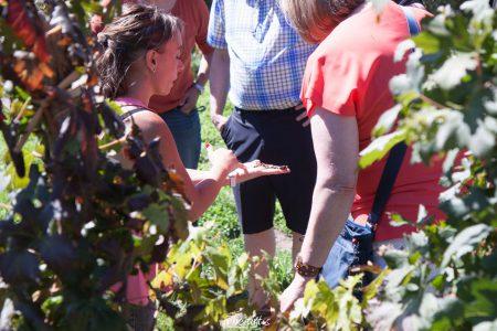 Scène de vigne en Argentine