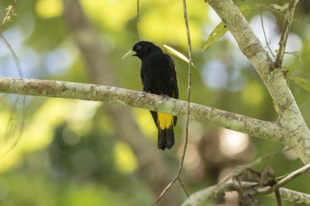 Equateur-Oiseau Oropendola (Paikawue)