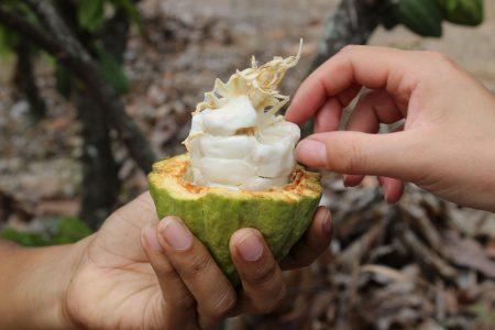 Equateur-Fève de cacao de la région Guayas