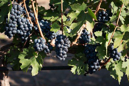 Raisin noir du vignoble Dos Hemisferios