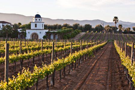 Vignoble de Guadalupe, en Basse Californie, Mexique