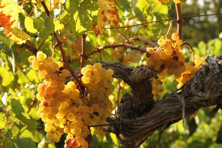 Slovenia yellow grape nova gorica