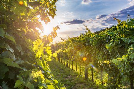 Slovenie, vignoble ensoleillé à Vipav