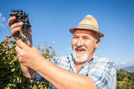 Slovenie, vendanges raisin noire