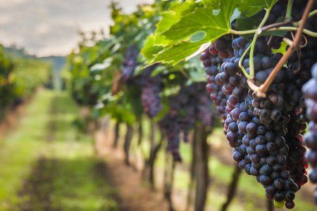 Grappes raisin Afrique du Sud