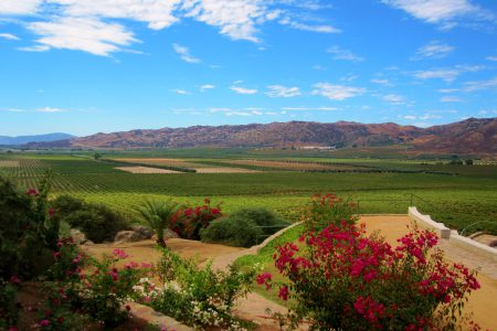 Vignoble de la vallée de Guadalupe en Basse Californie, Mexique