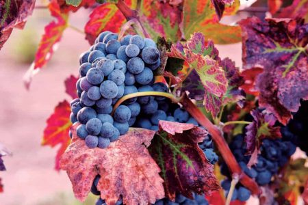 Vigne de raisin noir, vignoble La Redonda, Mexique