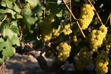 Equateur, vignes de raisin blanc