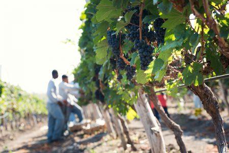 collecte du raisin en Equateur